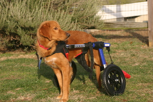 Polo in Wheelchair